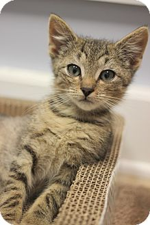 Domestic Shorthair Kitten for adoption in Carlisle, Pennsylvania - Peter