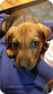 Corgi/Australian Shepherd Mix Puppy for adoption in Baltimore, Maryland - Anastasia