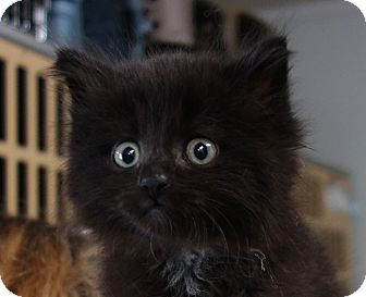 Domestic Mediumhair Kitten for adoption in Greenfield, Indiana - Guthrie