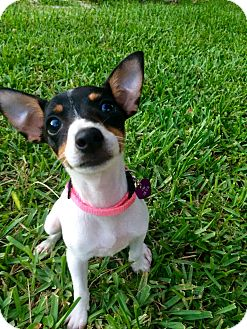 Fox Terrier (Toy)/Fox Terrier (Smooth) Mix Puppy for adoption in Hialeah, Florida - Adele