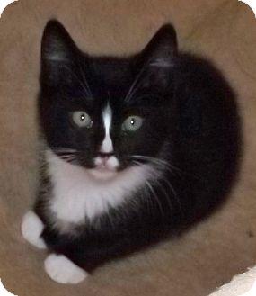 Domestic Shorthair Kitten for adoption in Salem, Oregon - Holly