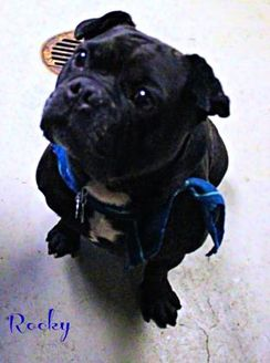 French Bulldog Mix Dog for adoption in Bensalem, Pennsylvania - Rocky