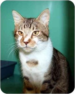 Domestic Shorthair Cat for adoption in Phoenix, Oregon - Apollo