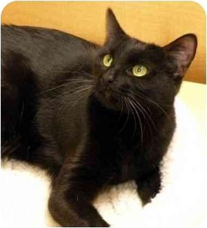 Domestic Shorthair Cat for adoption in Irvine, California - Harley