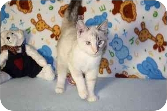 Siamese Cat for adoption in Turlock, California - Daisee-ADOPTED