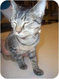 Domestic Shorthair Kitten for adoption in North Charleston, South Carolina - Yahoo