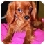 Photo 1 - Cavalier King Charles Spaniel Puppy for adoption in Osseo, Minnesota - Rollie