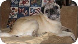 Pug Dog for adoption in Strasburg, Colorado - Savannah