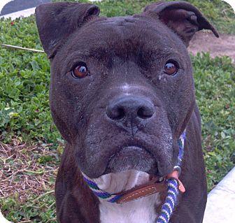 American Pit Bull Terrier Dog for adoption in San Pedro, California - Addison
