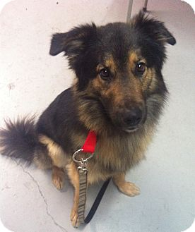 German Shepherd Dog/Collie Mix Dog for adoption in Painesville, Ohio - Rocco