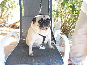 Pug Dog for adoption in Riverside, California - CP