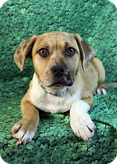Boxer/Australian Cattle Dog Mix Dog for adoption in Westminster, Colorado - Chloe
