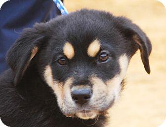 Rottweiler Mix Puppy for adoption in Pewaukee, Wisconsin - Siri