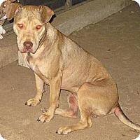 American Pit Bull Terrier Mix Dog for adoption in Houston, Texas - Tara