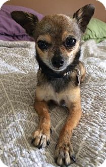 Chihuahua Dog for adoption in Encino, California - Bunny