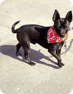Chihuahua Mix Dog for adoption in San Diego, California - Rocky