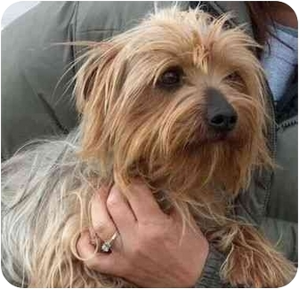Yorkie, Yorkshire Terrier Mix Dog for adoption in Winfield, Kansas - Lucky