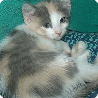 Adopt A Pet :: LUCENDA - Acme, PA
