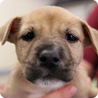 Adopt A Pet :: Faye - Atlanta, GA