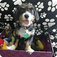 Adopt A Pet :: Cupcake - Sugarland, TX