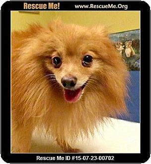Pomeranian Dog for adoption in Columbus, Kansas - Skeeter