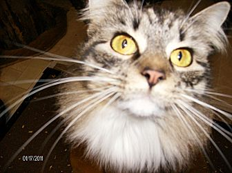 Domestic Shorthair Kitten for adoption in Orwigsburg, Pennsylvania - Beautiful Cats and Kitties!