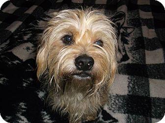 Yorkie, Yorkshire Terrier/Shih Tzu Mix Dog for adoption in Lawrenceville, Georgia - Rocket