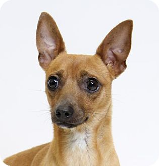 Chihuahua Mix Dog for adoption in Truckee, California - Butterfinger
