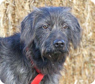 Bearded Collie Mix Dog for adoption in Orland Park, Illinois - Mickey