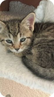 Domestic Shorthair Kitten for adoption in Media, Pennsylvania - Ween (Christmas Kittens