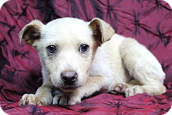Retriever (Unknown Type)/Shepherd (Unknown Type) Mix Puppy for adoption in Westminster, Colorado - Idana