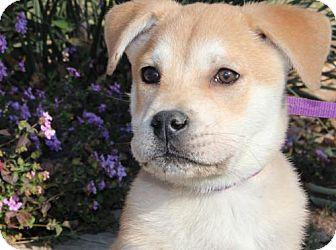 Shepherd (Unknown Type)/Labrador Retriever Mix Dog for adoption in Olympia, Washington - Archie