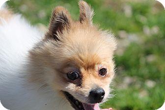 Pomeranian Dog for adoption in Marion, North Carolina - Mr Fritz