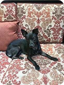 Miniature Pinscher/Chihuahua Mix Dog for adoption in Elgin, Illinois - *Chickie