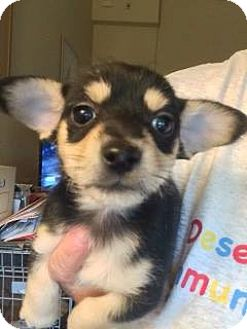 Dachshund/Terrier (Unknown Type, Small) Mix Puppy for adoption in Cave Creek, Arizona - Monet