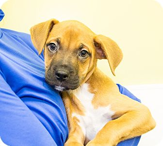 Boxer Mix Puppy for adoption in Seville, Ohio - Armani