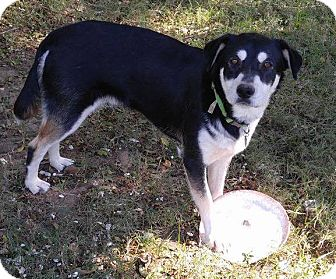 German Shepherd Dog/Siberian Husky Mix Puppy for adoption in Houston, Texas - Olin