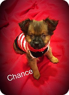 Chihuahua Mix Puppy for adoption in Florence, Kentucky - Chance (and Grace)