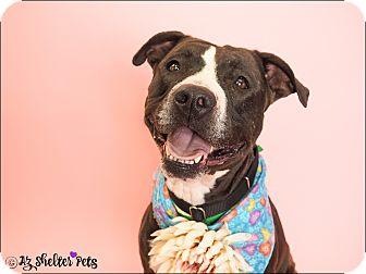 American Pit Bull Terrier/Labrador Retriever Mix Dog for adoption in Phoenix, Arizona - Foxy