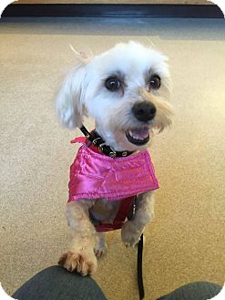 Havanese Dog for adoption in Vernon, Connecticut - Sugar