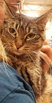 American Shorthair Cat for adoption in Lyons, Illinois - Clarice