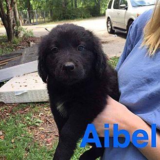 Labrador Retriever Mix Puppy for adoption in Sumter, South Carolina - Aibel