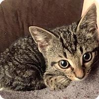 Adopt A Pet :: Rum Tum - Little Rock, AR