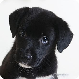 Mixed Breed (Medium)/Labrador Retriever Mix Puppy for adoption in Wilmington, Delaware - Colt