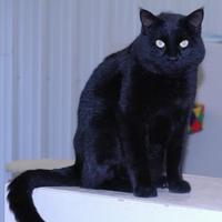 Adopt A Pet :: Bageera - Buffalo, WY