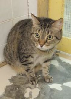 Domestic Shorthair/Domestic Shorthair Mix Cat for adoption in Westville, Indiana - Shirley
