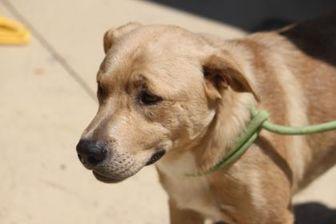 Labrador Retriever Mix Dog for adoption in Russellville, Kentucky - Gunner