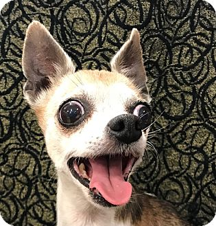 Chihuahua Dog for adoption in Garland, Texas - Lilly