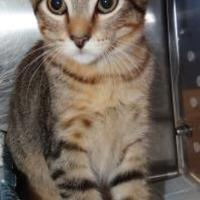Domestic Shorthair/Domestic Shorthair Mix Cat for adoption in Fairfield, Iowa - Tigger