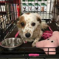 Adopt A Pet :: Amy - Tucson, AZ
